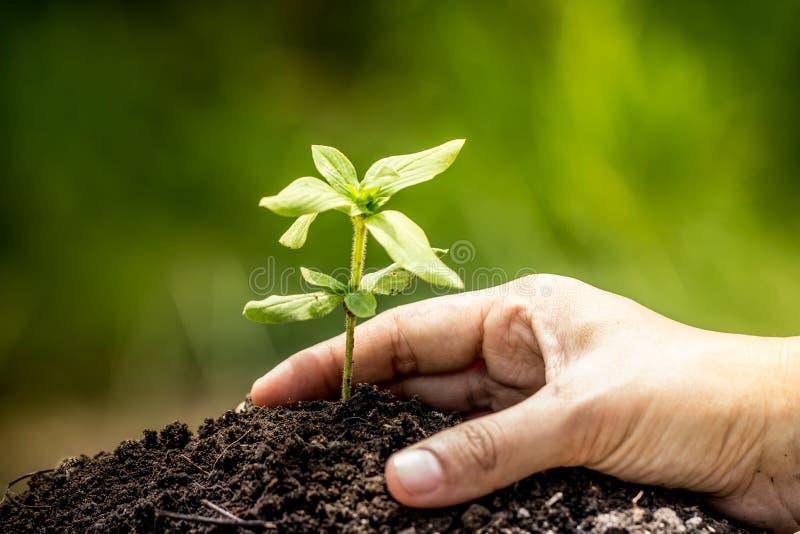 Mano del primer que planta el árbol joven en suelo imagen de archivo libre de regalías