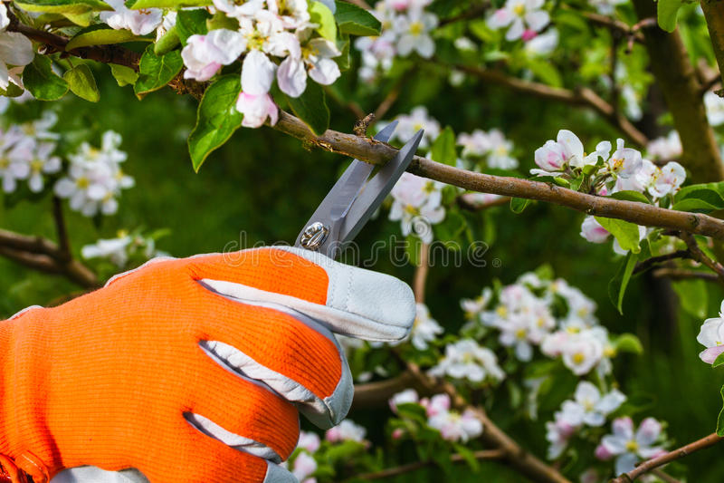 Mano del ` s del giardiniere con le forbici della potatura immagini stock libere da diritti
