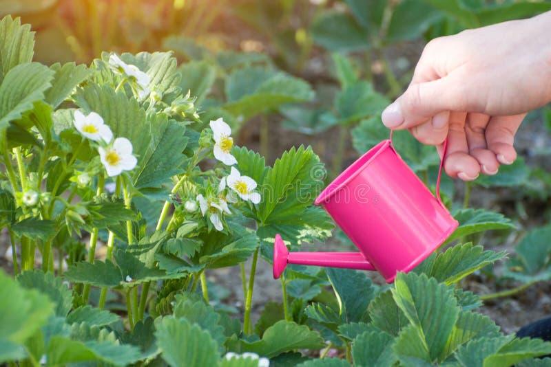 Mano del ` s della donna con un piccolo annaffiatoio rosa innaffiatura dei cespugli fotografia stock