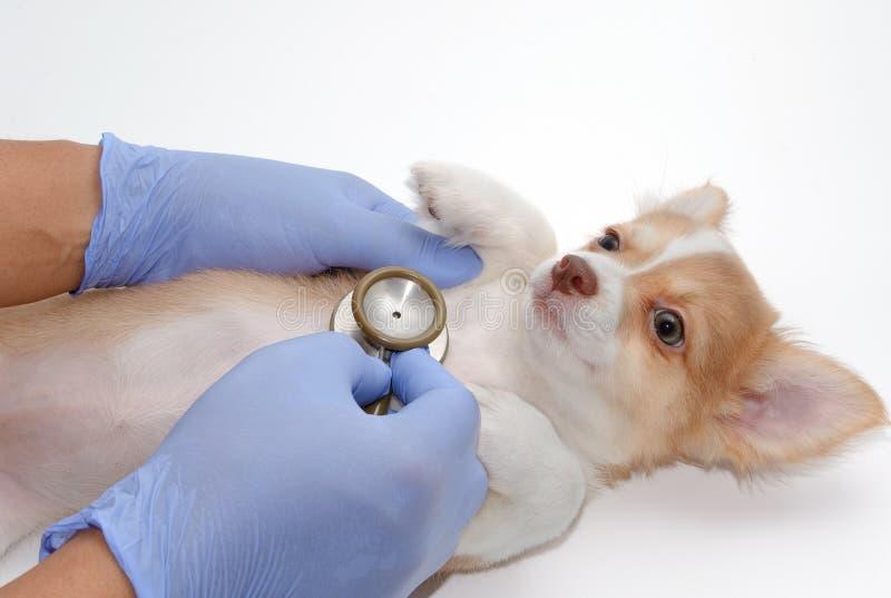 mano del veterinario con el chihuah de examen del estetoscopio foto de archivo libre de regalías
