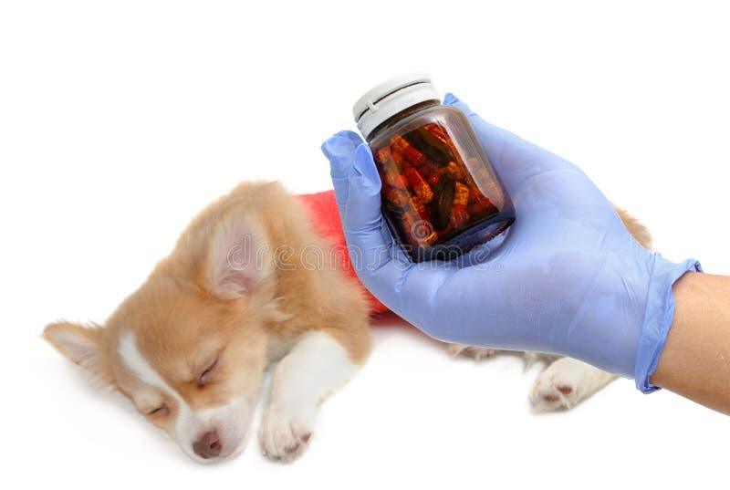 mano del veterinario con el chihuah de examen del estetoscopio imagen de archivo libre de regalías