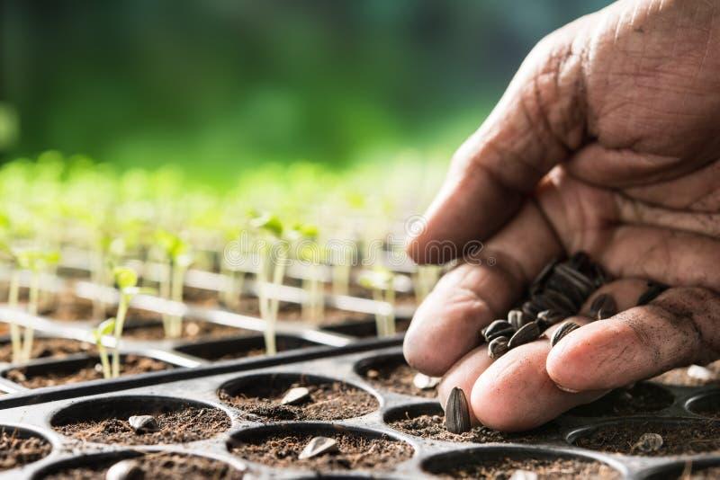Mano dell'agricoltore che pianta i semi in suolo in vassoio della scuola materna immagini stock