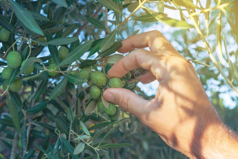 Mano dell'agricoltore che seleziona la frutta fresca dell'oliva verde dal ramo di albero fotografie stock