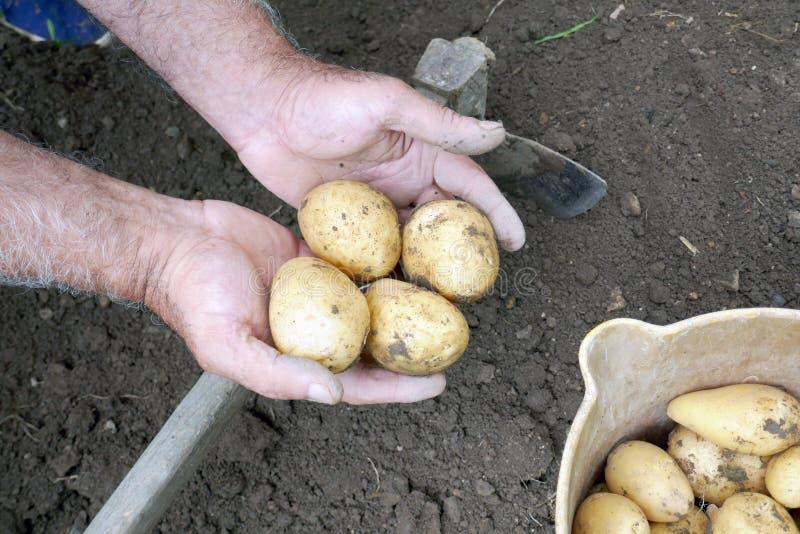 Mano dell'agricoltore che tiene alcune patate appena raccolte fotografie stock