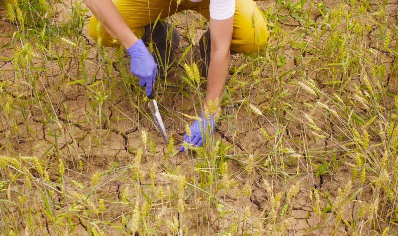 Mano dell'ecologo che preleva campione di suolo fotografia stock libera da diritti