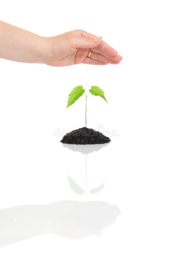 Mano della donna che protegge piccola pianta verde immagine stock