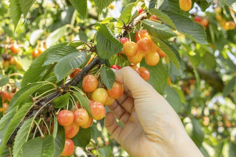 Mano della donna che seleziona ciliegia succosa di estate fotografia stock