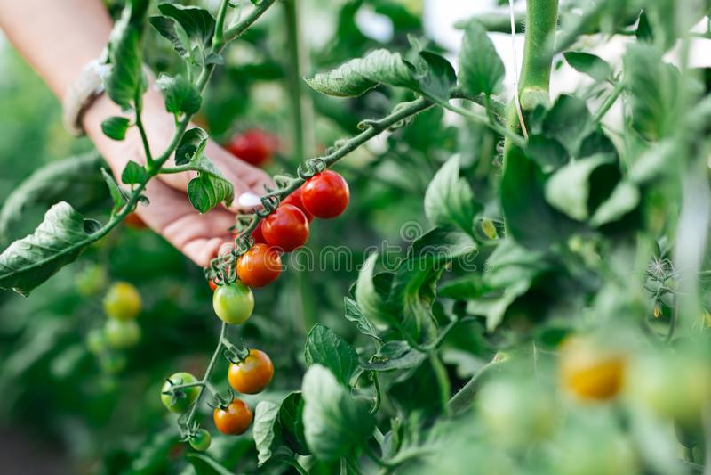 Mano della donna che seleziona i pomodori ciliegia rossi maturi nell'azienda agricola della serra immagini stock libere da diritti