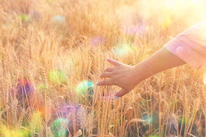 Mano della donna che tocca grano nel campo alla luce di tramonto fotografie stock libere da diritti