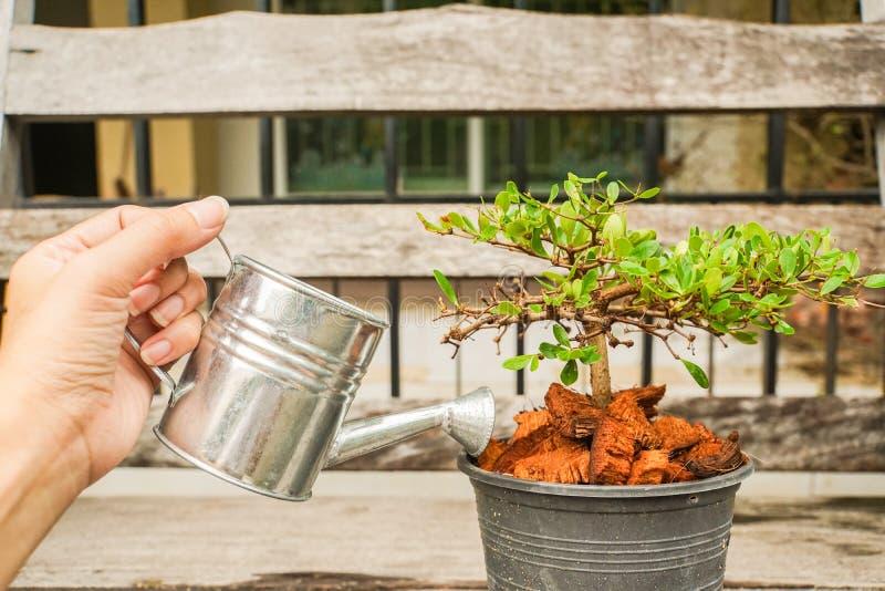 Mano della donna con acqua di versamento del vaso su una piccola pianta verde fotografie stock libere da diritti
