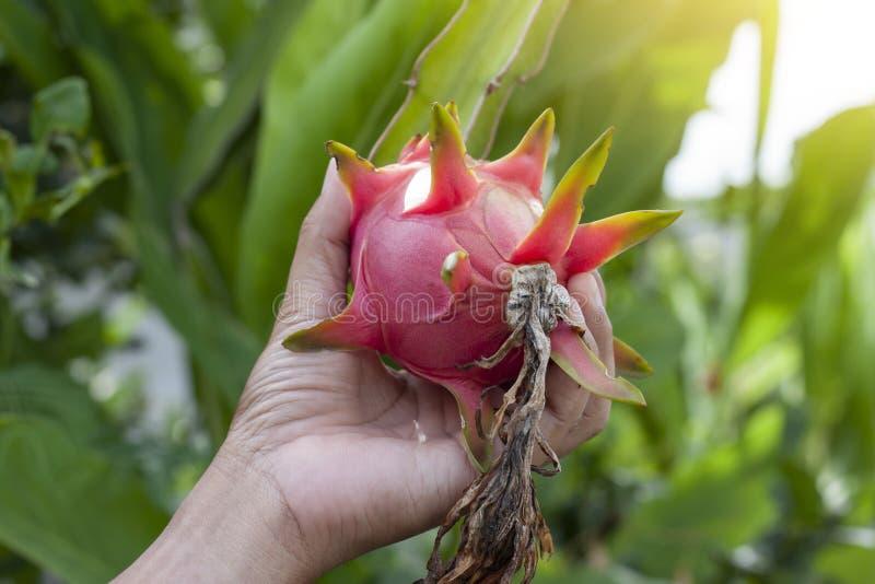 Mano della frutta o di Pitaya del drago della tenuta dell'agricoltore sull'albero fotografia stock