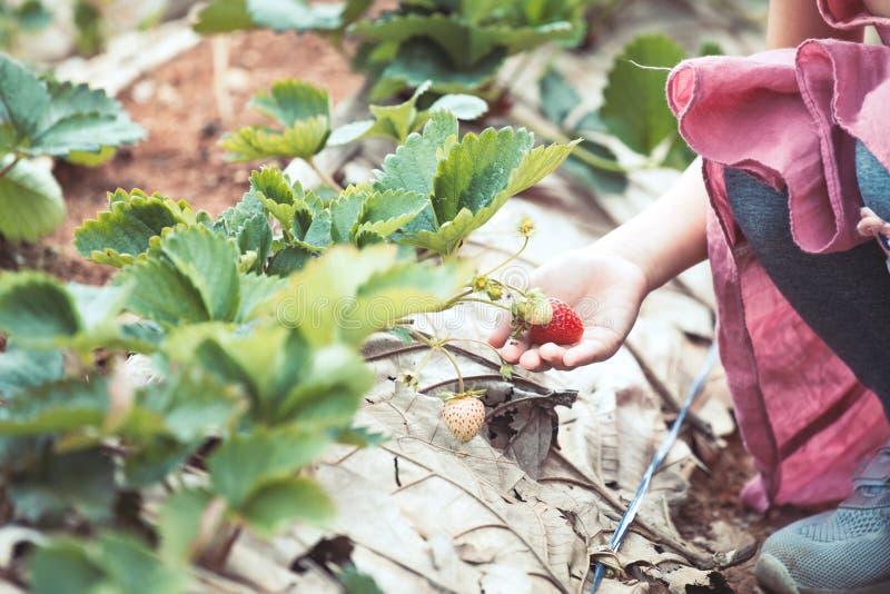 Mano della ragazza asiatica del piccolo bambino che seleziona le fragole fresche fotografia stock libera da diritti