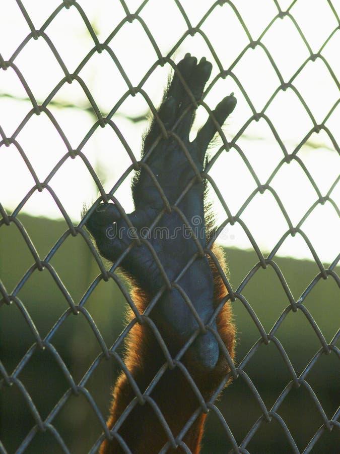Mano della scimmia in gabbia fotografie stock