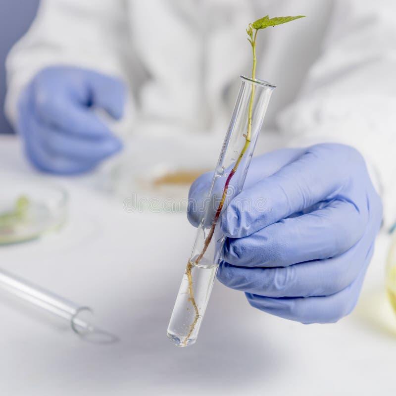Mano dello scienziato in guanto blu che tiene foglia verde, concetto di biotecnologia fotografia stock libera da diritti