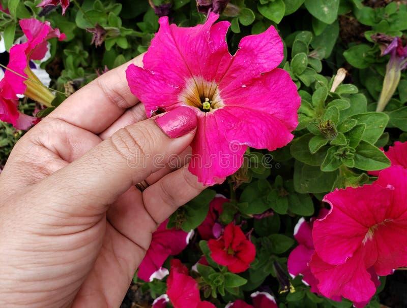 mano di una donna che tiene un fiore rosa della petunia nella stagione primaverile immagine stock