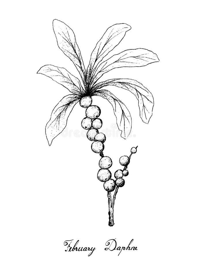 Mano dibujada de febrero Daphne Fruits en el fondo blanco stock de ilustración