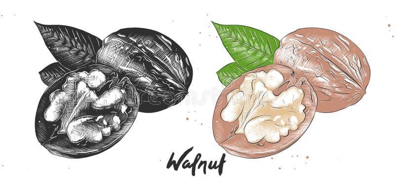 Mano dibujada grabando al agua fuerte el bosquejo de nueces en monocromático y colorido Dibujo vegetariano detallado del linocut  ilustración del vector