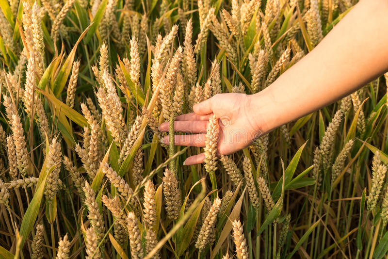 Mano en campo de maíz fotos de archivo libres de regalías