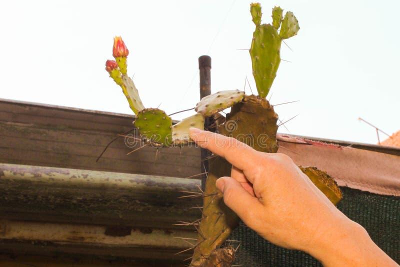 Mano en un primer claveteado del cactus foto de archivo
