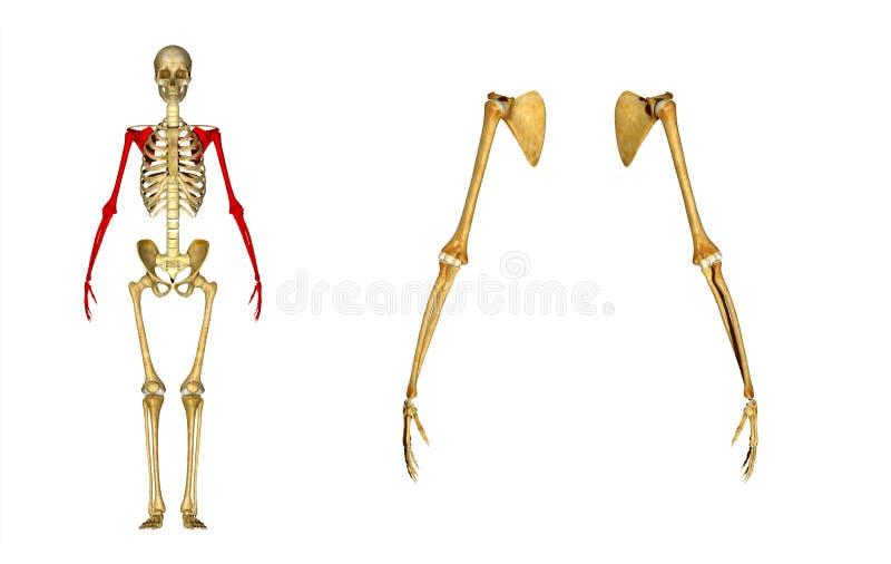 Mano (esqueleto): Junta Del Húmero, De Codo, Radio Y Cúbito Stock de ...