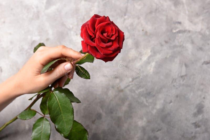 Mano femenina con la rosa roja hermosa en fondo gris fotografía de archivo libre de regalías