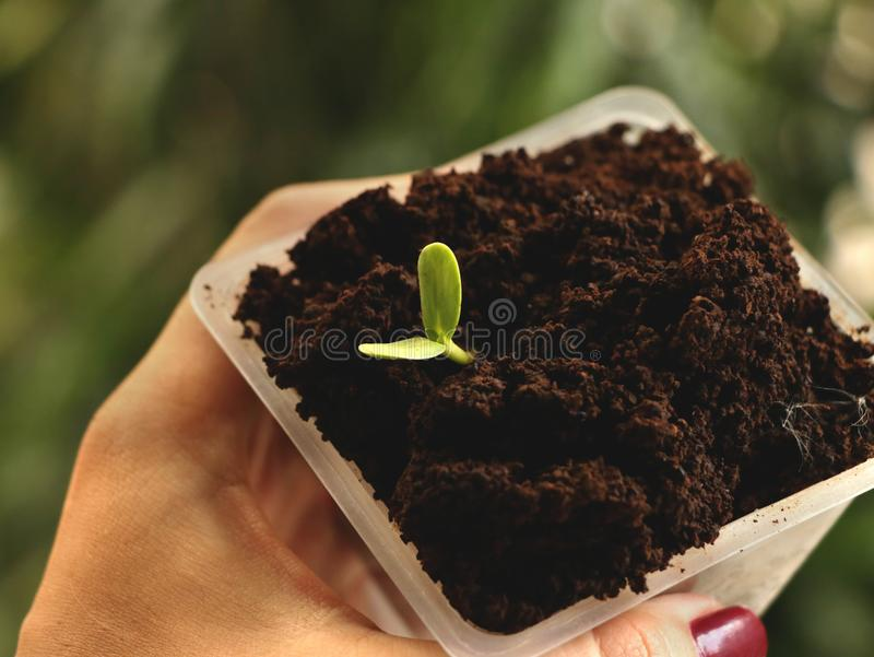 Mano femenina Manicured que sostiene la taza plástica cuadrada de planta que crece en el café - fondo verde natural imágenes de archivo libres de regalías