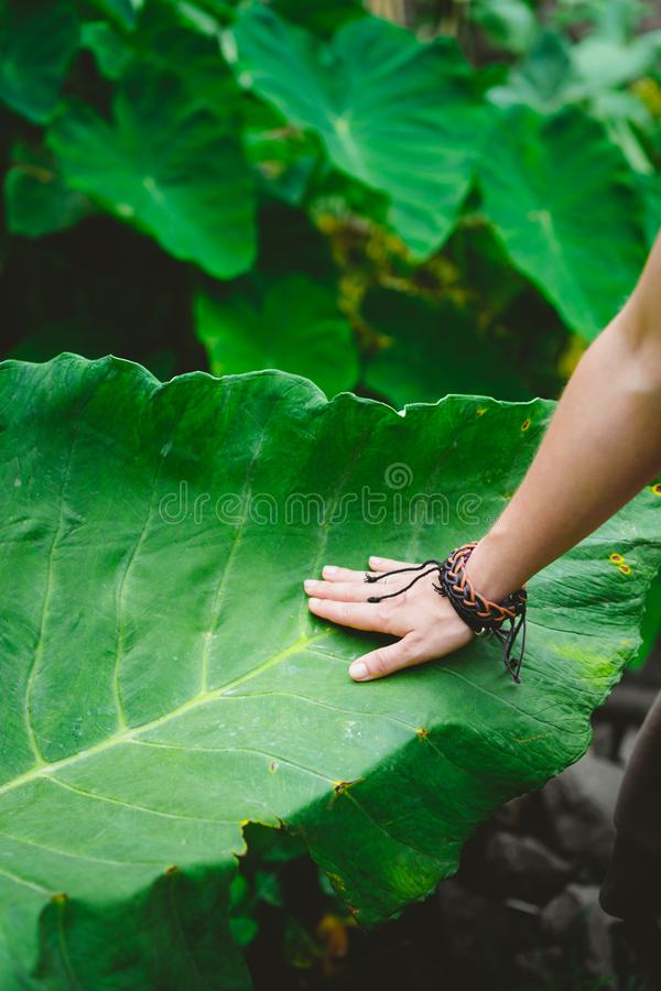 Mano femenina que frota ligeramente la hoja enorme conmovedora del loto imagen de archivo