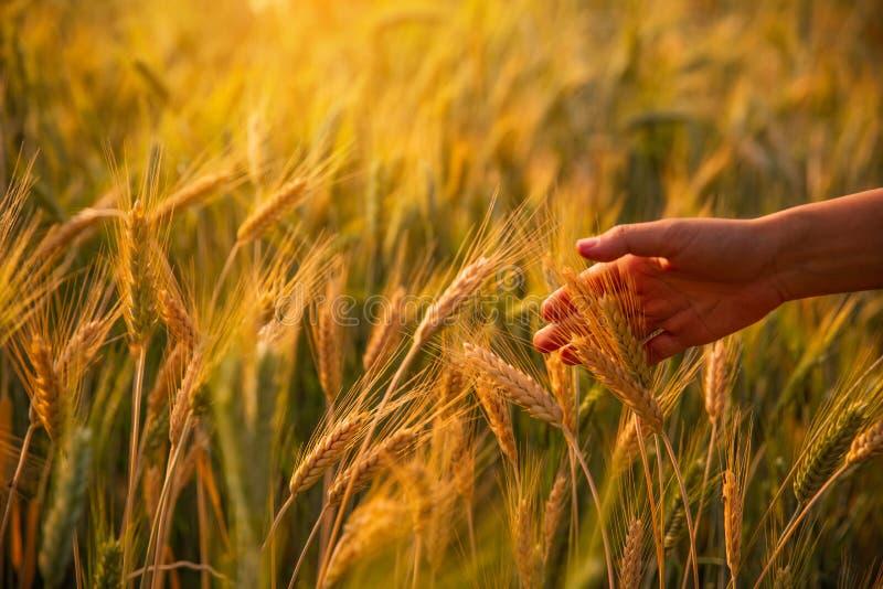 Mano femenina que frota ligeramente tactos de oídos maduros del trigo en la puesta del sol imagen de archivo libre de regalías