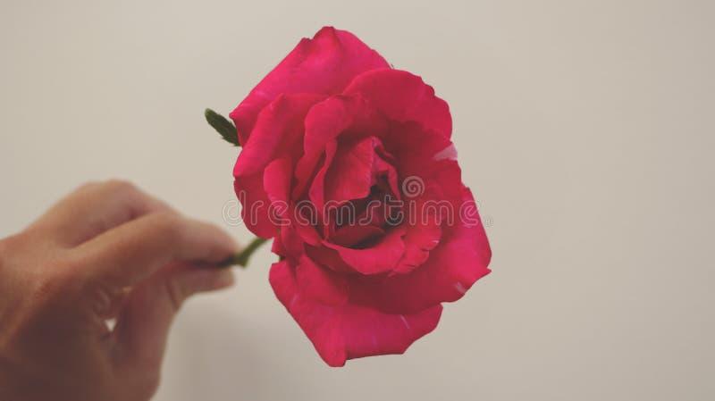 Mano femenina que lleva a cabo la rama fresca del vintage Rose roja rosácea foto de archivo libre de regalías