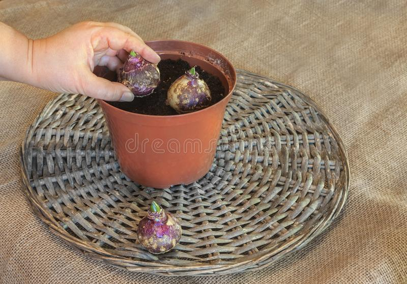 Mano femenina que planta bulbos del jacinto en pote imagen de archivo libre de regalías