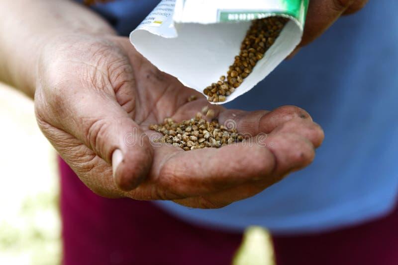 Mano femenina que planta las semillas de la haba blanca en el suelo, primer fotografía de archivo libre de regalías