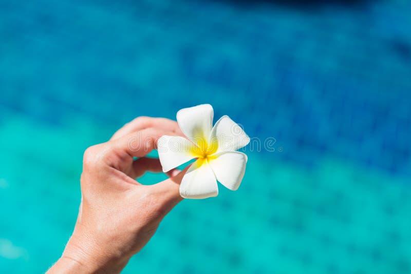 Mano femminile che tiene il fiore del frangipane di plumeria nella piscina Vacanze estive, viaggio, festa, fondo tropicale di con fotografie stock libere da diritti
