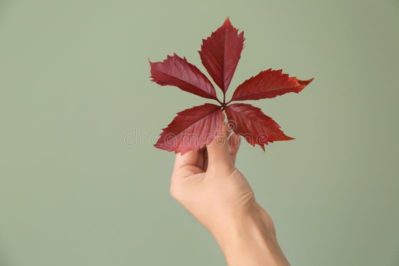 Mano femminile con le foglie fresche sul fondo di colore Concetto di ecologia fotografia stock