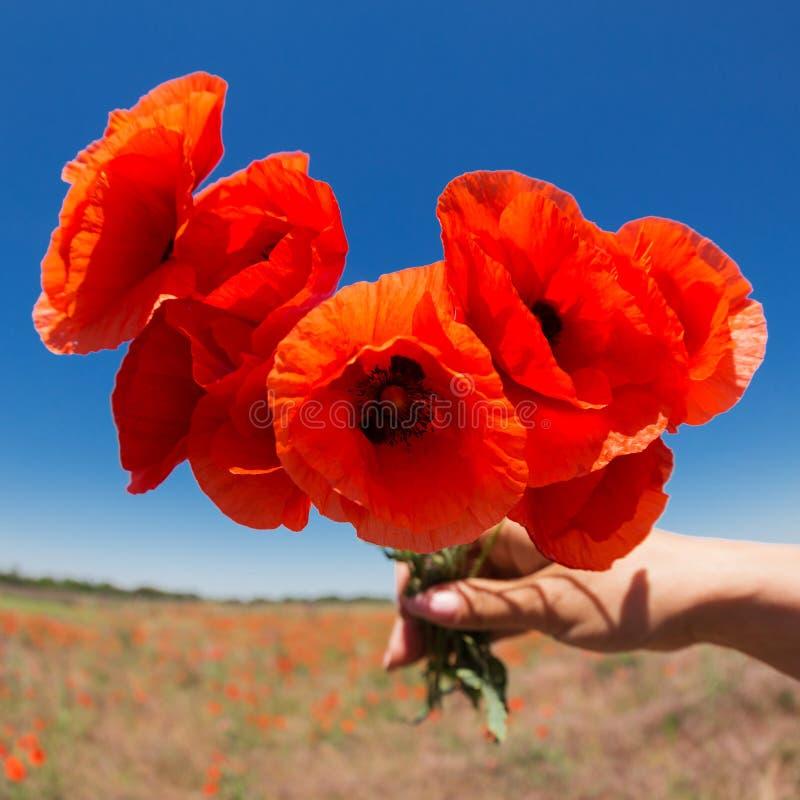In mano femminile un mazzo dei fiori del papavero, concetto, contro un cielo blu fotografia stock libera da diritti