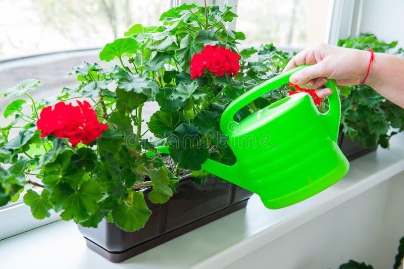 Mano humana que sostiene la regadera y que riega los potes de flores rojos del geranio en alféizar indoor Foco selectivo imagen de archivo libre de regalías