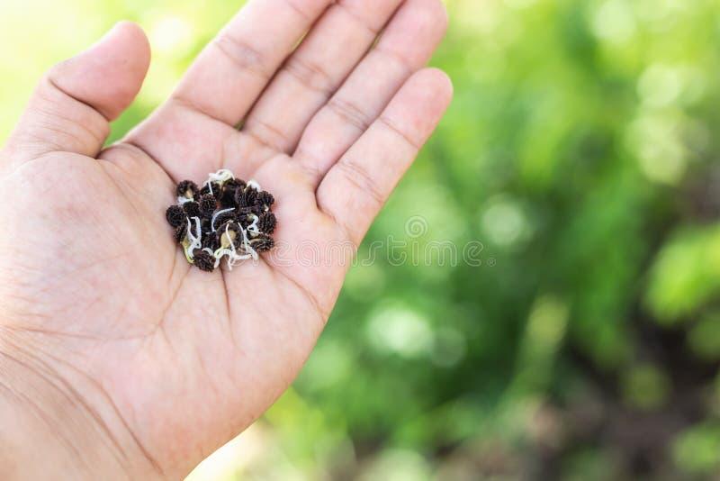 Mano izquierda que sostiene las semillas jovenes del árbol de papaya listas al crecimiento fotos de archivo libres de regalías