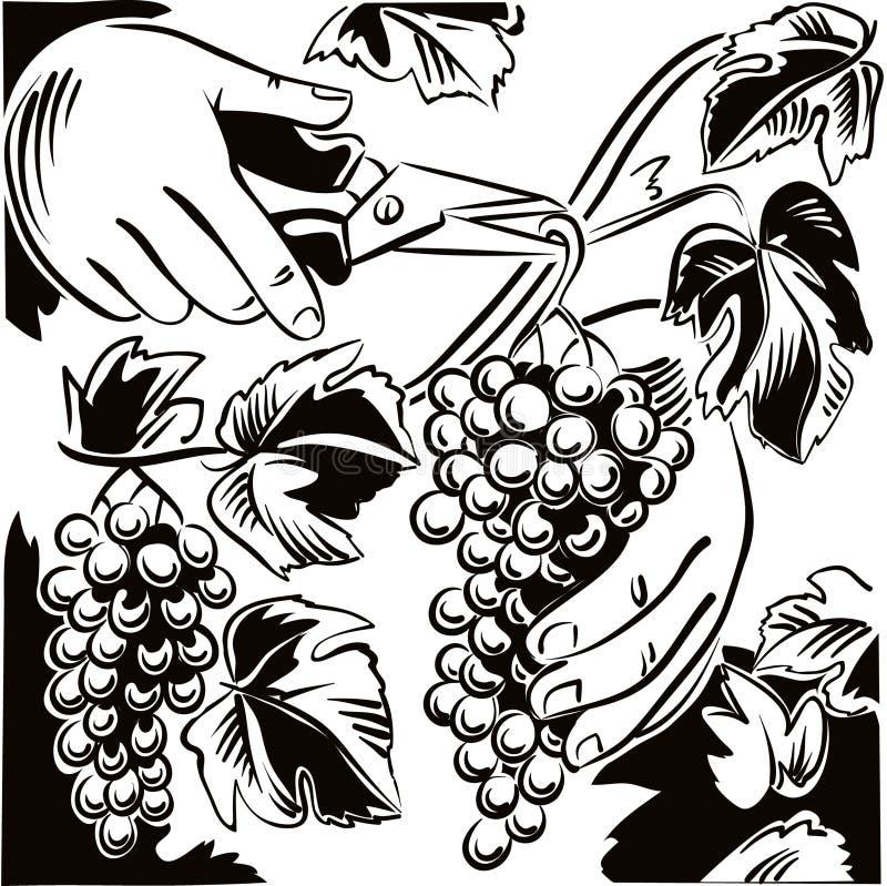 Mano masculina con los esquileos, capturas un racimo de uvas maduras en un VI ilustración del vector