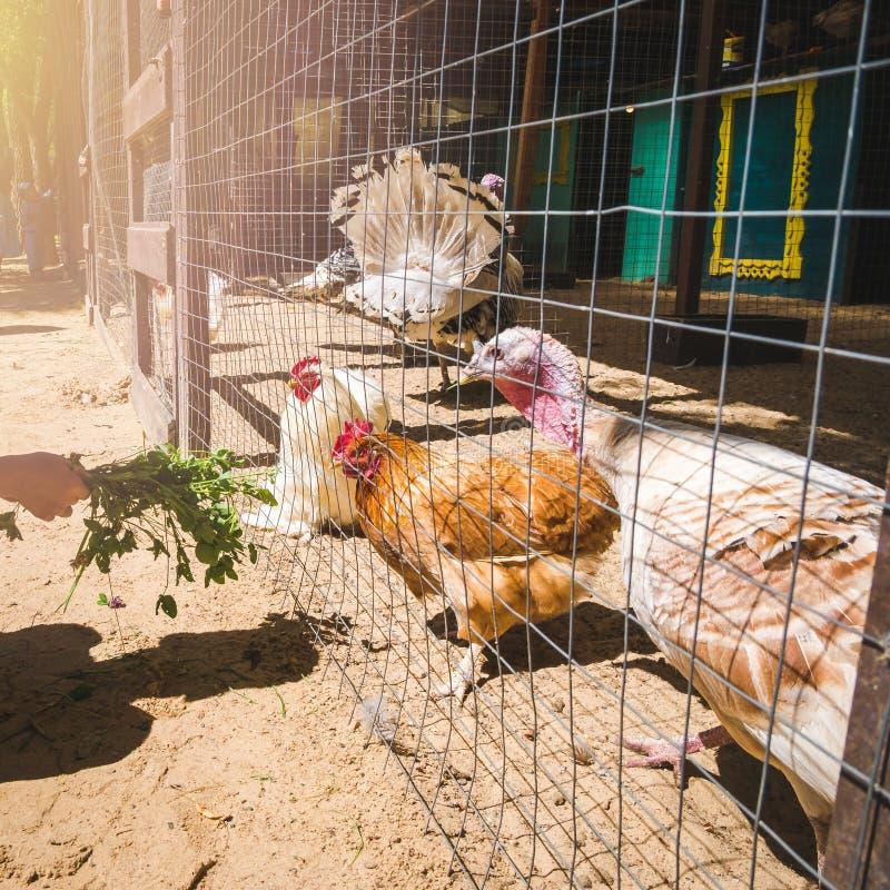 Mano que alimenta gallinas y pavos nacionales fotografía de archivo