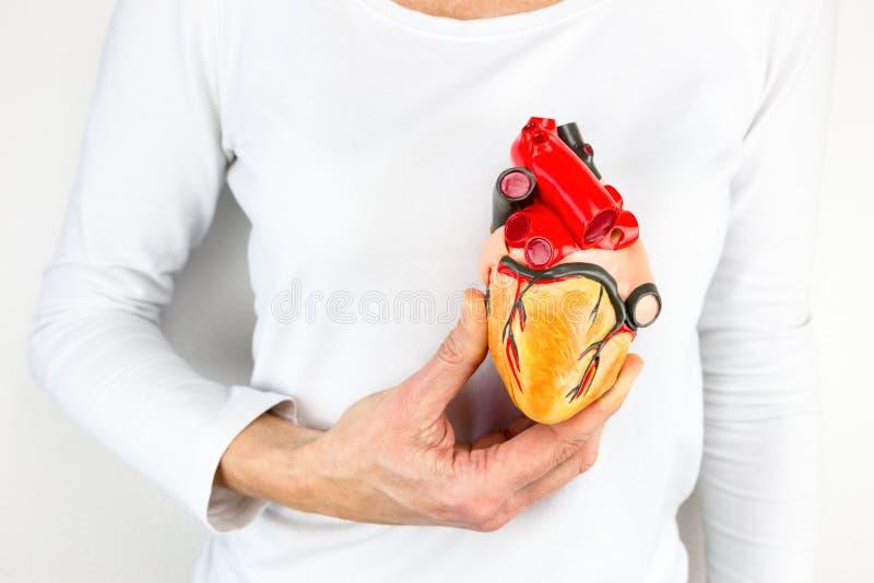 Mano que lleva a cabo el modelo humano del corazón delante del pecho foto de archivo libre de regalías