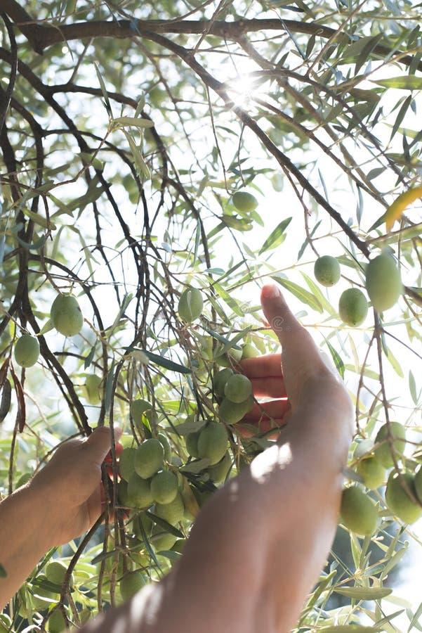 Mano que lleva a cabo la rama de olivo foto de archivo