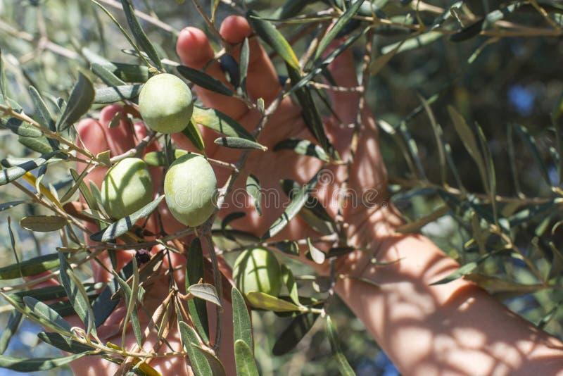 Mano que lleva a cabo la rama de olivo imagen de archivo
