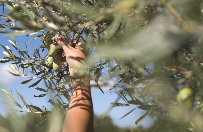 Mano que lleva a cabo la rama de olivo imagenes de archivo