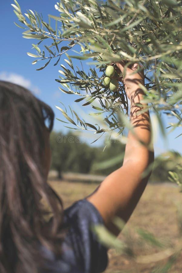 Mano que lleva a cabo la rama de olivo imagen de archivo libre de regalías