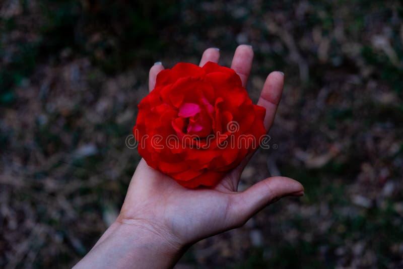 Mano que lleva a cabo una cabeza color de rosa roja foto de archivo libre de regalías