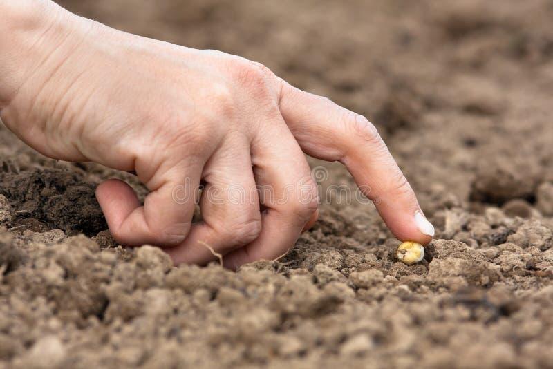 Mano que planta la semilla en el suelo foto de archivo libre de regalías