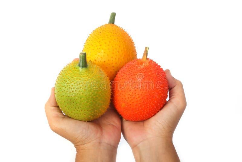 Mano que sostiene la fruta de Gac, Jackfruit del bebé fotografía de archivo