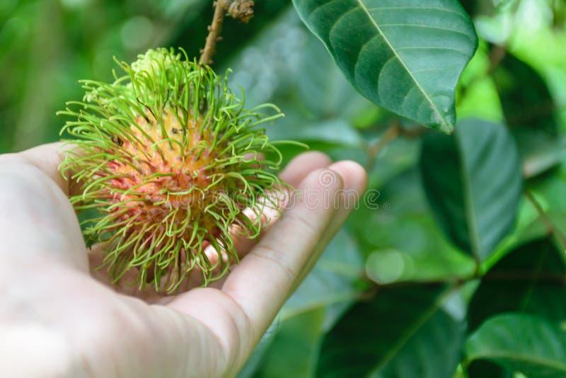 Mano que sostiene la fruta del rambutan imagen de archivo