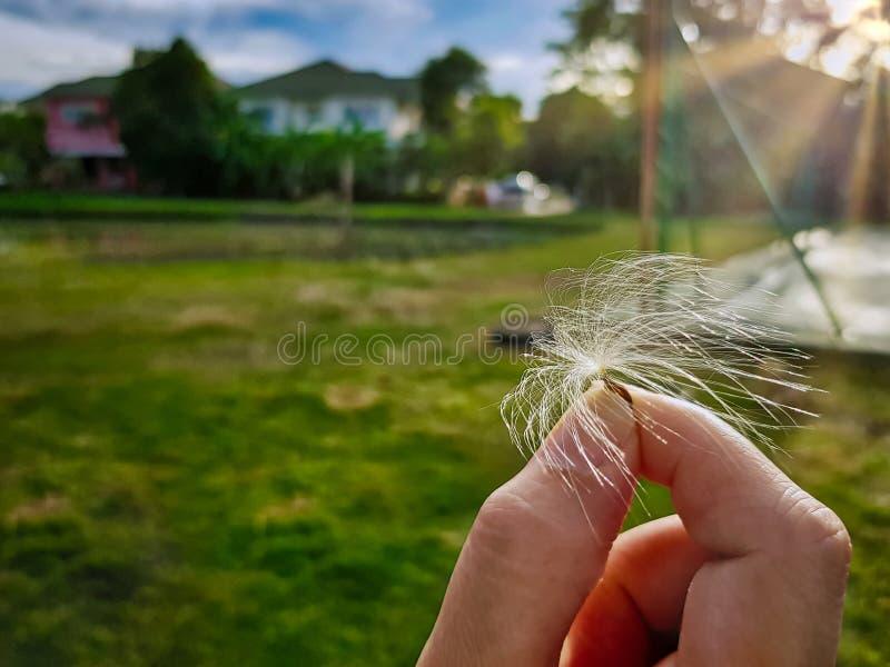 Mano que sostiene la semilla del diente de león contra campo de hierba verde borroso imagenes de archivo