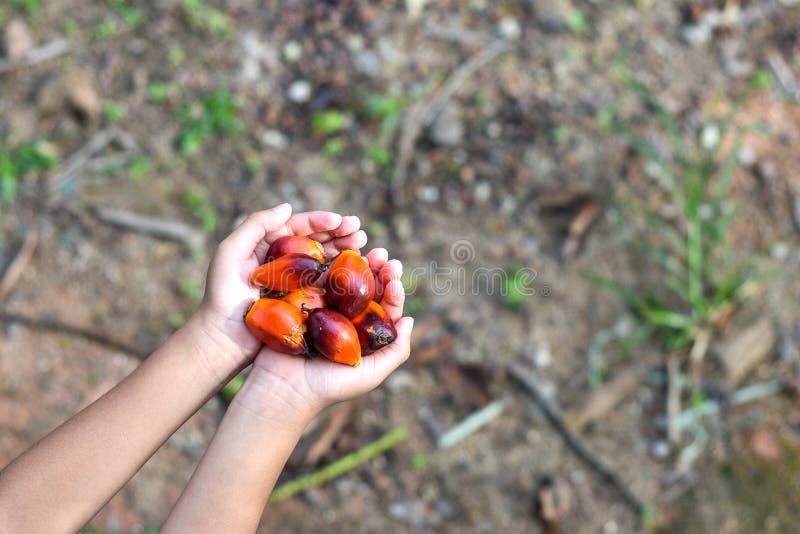 Mano que sostiene un grupo de semillas frescas y maduras de la palma de aceite imágenes de archivo libres de regalías