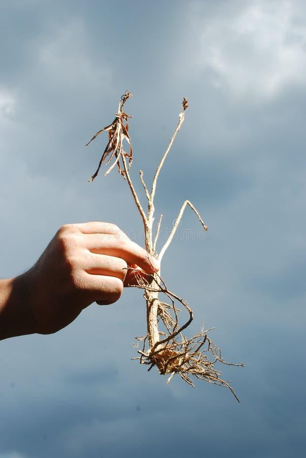Mano que sostiene una planta muerta contra el cielo nublado. fotos de archivo libres de regalías